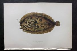 Couch 1877 Antique Fish Print. Bloch's Topknot 166